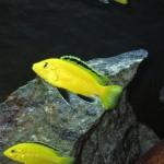 Yellow Lab Adult