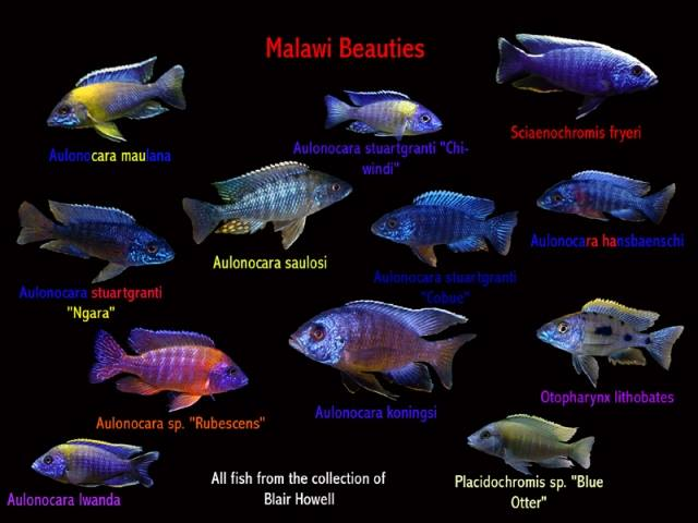 An awesome Malawi Cichlid poster by Blair Howell.