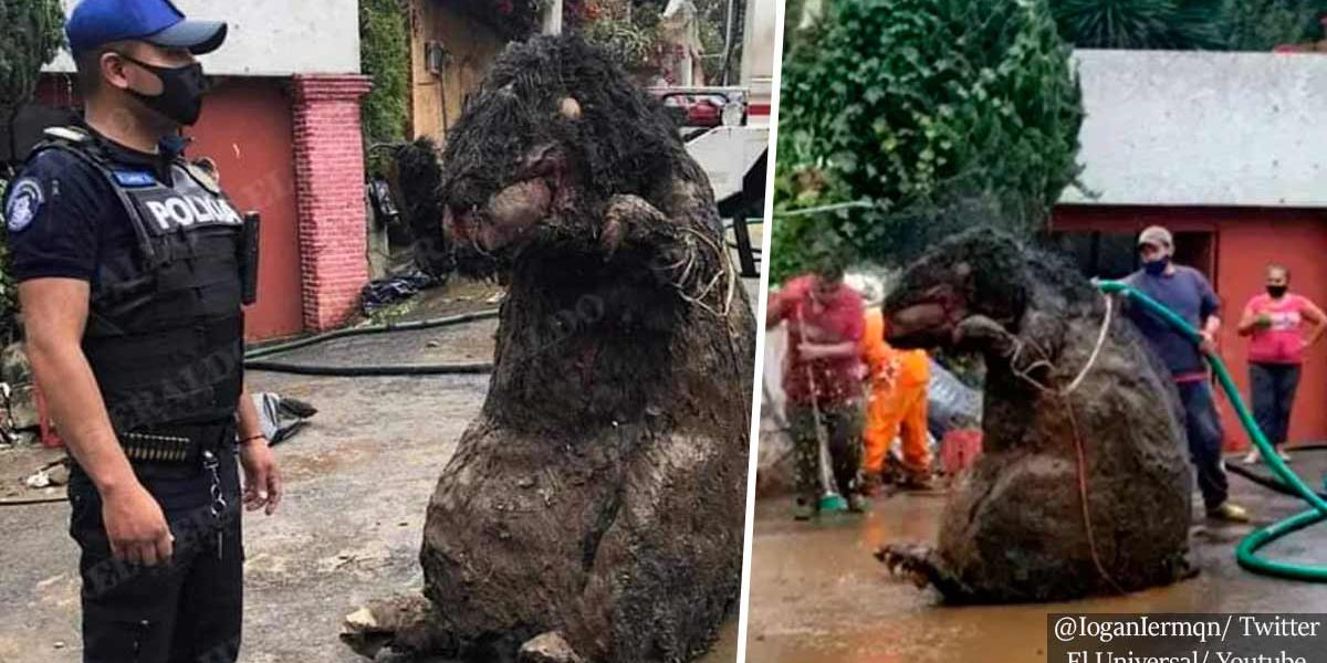 Mexico City Workers Find Giant Rat Prop While Cleaning Drains Following Heavy Rainfalls